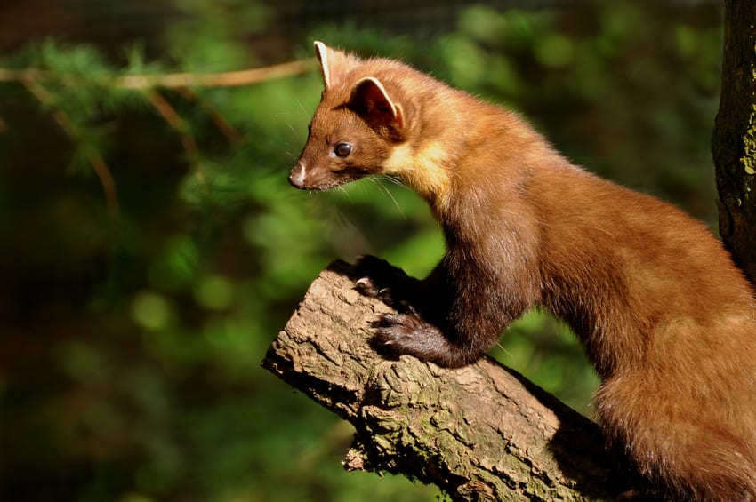 This image has an empty alt attribute; its file name is Figure-1-Photo-of-Pine-Marten.jpg