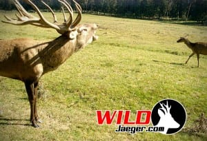 Red_Stag_Germany_web_JO-300x205