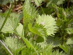 Figure-1-Photo-The-nettle-plant-that-we-al
