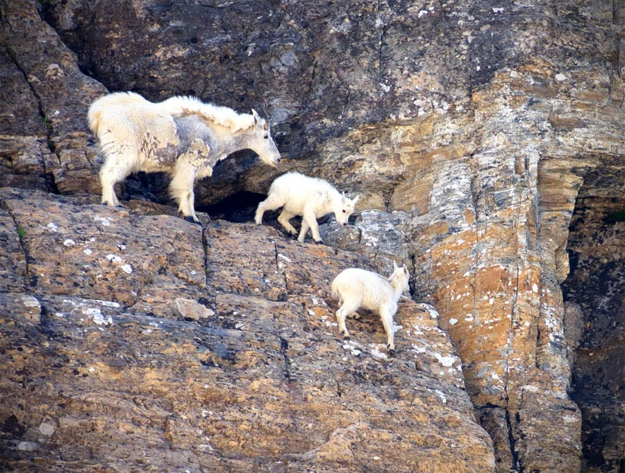 A female mountain goat with two babies on a rock mountain in Glacier National Park, Montana.
