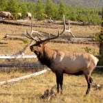 Elk-in-nature-Amy-Hern-150x150