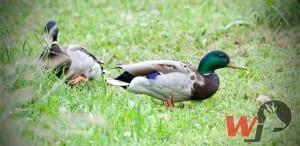Stock Ente (Anseriformes)