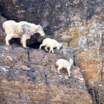 Mountain_goat_web_JO-150x150