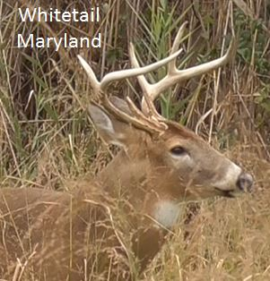 Whitetail Deer Maryland