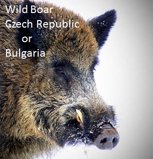 Wild Boar Czech Republic or Bulgaria