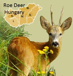Roe Buck :Deer: Hungary